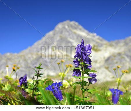 Flowers on mountain meadow, in the background Strbsky Stit. Mlynicka Valley in Vysoke Tatry (High Tatras), Slovakia
