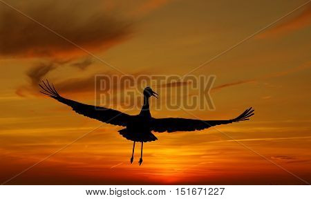 Beautiful tropical Sandhill Crane against sunrise panoramic view