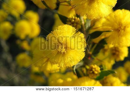 Yellow wattle mimosa acacia flower in the Australian bush