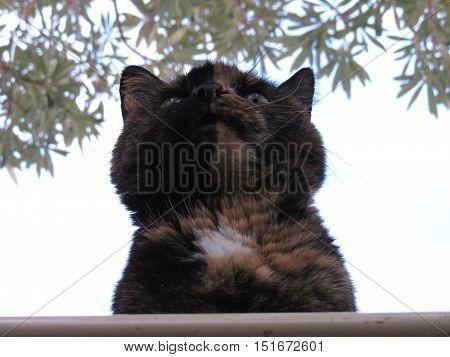 Tortoiseshell cat on the roof peering over the edge