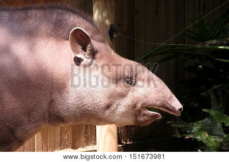 Tapir animal caught sneezing at the zoo. Achoo! Bless you!