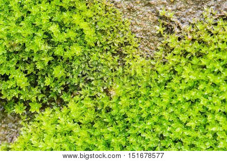 The moss on the walls drip with moisture for background texture and wall paper. poster