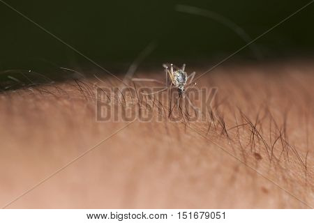 Mosquito Sucking Blood From Hand Covered With Hair