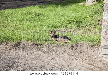 Dog Basking In The Sun, Politely Lying On The Grass
