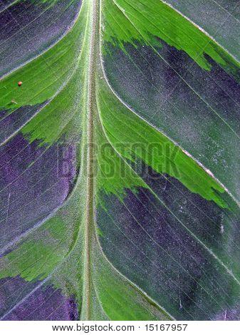 Velvety Leaf