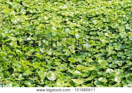 The Asiatic Pennywort(Gotu kola) is a plant that indicated in the treatment of diseases.