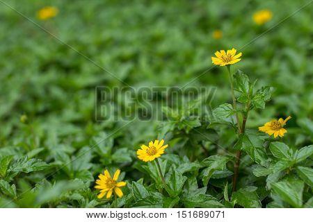 beautiful Creeping Daisy among the green nature