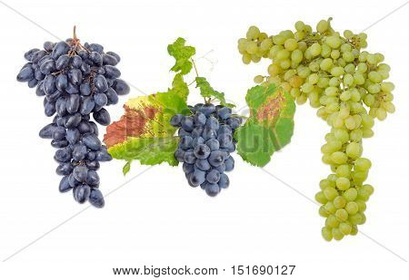 Two clusters of ripe blue table grapes different varieties and one cluster of white grapes on a light background