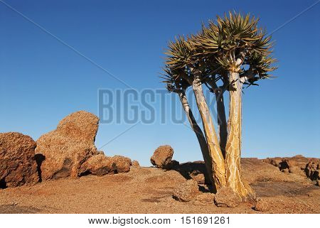 Quiver Tree, Aloe dichotoma, Augrabies Falls National Park, South Africa