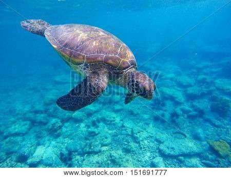 Sea turtle in deep blue water. Wild sea turtle diving to sea bottom. Sea tortoise. Green turtle swims in sea. Snorkeling with turtle in lagoon. Marine image for banner template or card with text place