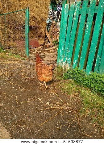 in the yard near the house hen pecks green grass