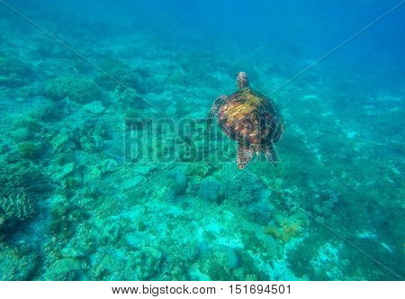 Sea turtle in blue water. Green sea turtle diving in coral reef. Sea tortoise. Green turtle swims in sea. Snorkeling with turtle in lagoon. Aquatic image of summer travel activity with text place