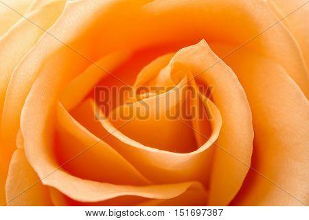 close up of orange  flower rose petals
