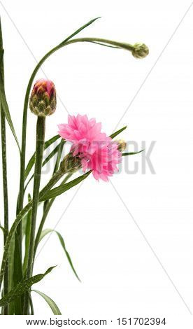 Studio shot of pink colored cornflowers isolated on white