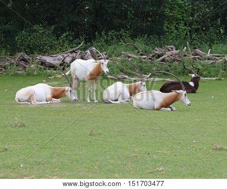 rare scimitar oryx herd grazing the green grass