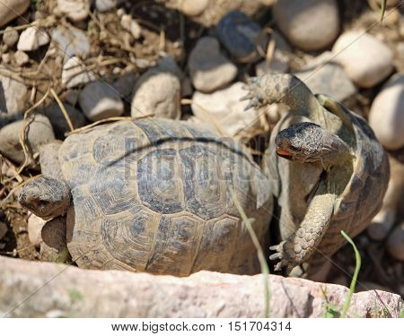 Coupling Of Two Large Turtles During The Mating Season