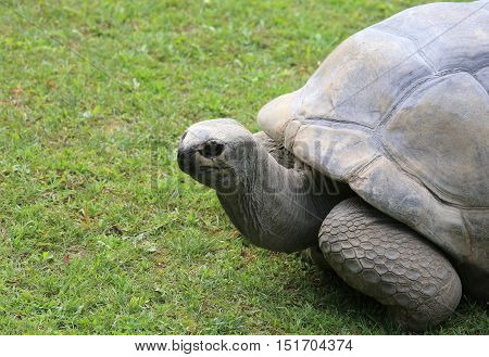 Turtle With Robust Shell While Walking On Grass