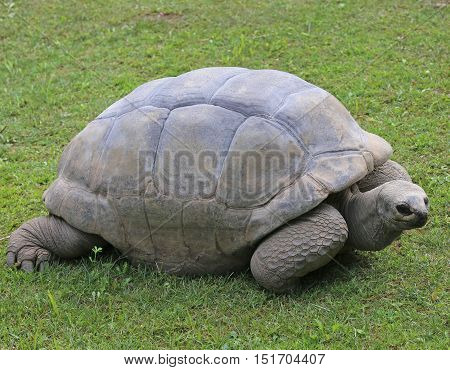 Very Big And Old Turtle With Robust Shell While Walking