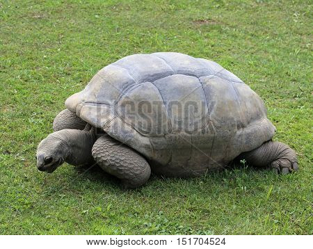 Old Turtle With Robust Shell