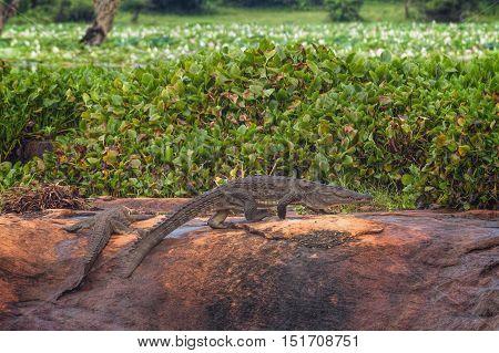 Mugger (Marsh) Crocodile in Yala National Park, Sri Lanka