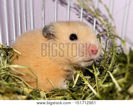 A close-up side-view of a Teddy Bear Hamster in its grass bedding.