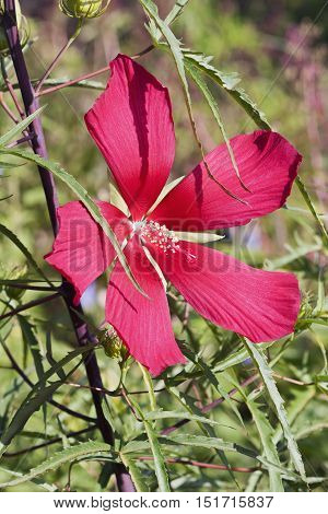 Scarlet rose mallow (Hibiscus coccineus). Called Texas star Brilliant hibiscus and Scarlet hibiscus also