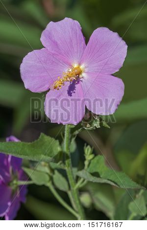 Seashore mallow (Kosteletzkya virginica). Called Sweet weed Virginia saltmarsh mallow also