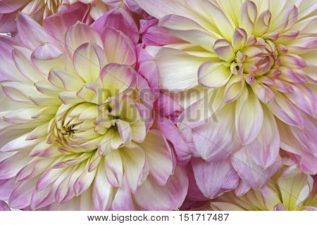 Dahlia flower (Dahlia x cultorum). Close up image of two flowers