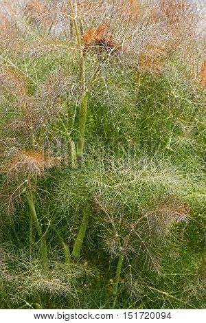 Smokey fennel (Foeniculum vulgare var. Dulce Rubrum). Called Bronze fennel also