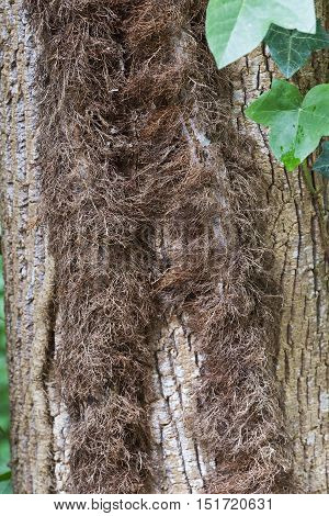 Hairy stems of Poison ivy (Toxicodendron radicans). Called Eastern poison ivy also