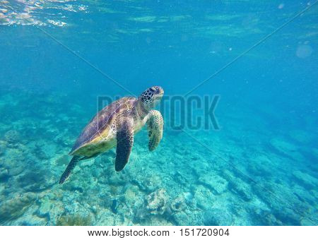 Sea turtle in blue water. Green sea turtle diving in coral reef. Sea tortoise. Green turtle swims in sea. Snorkeling with turtle in lagoon. Undersea image for banner template or poster with text place