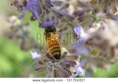 Honey Bee Pollinating Lilac Flower Macro Lens Photography
