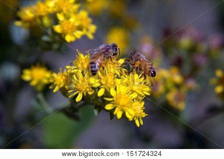 Honey Bees on Flower Macro Lens Photography