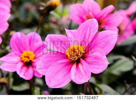 Pink flower Dahlia Juliet in the garden