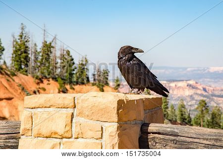 Often mistaken for crows this large black bird is a raven sitting overlooking the view at Bryce Canyon in Utah