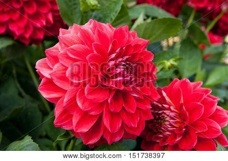 Beautiful Red flower Dahlia in the garden