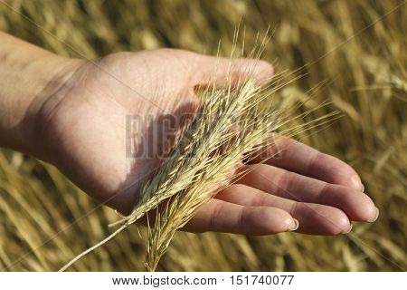 In the hands of the ears of rye and in the background field of ripe ears of rye . Harvesting, check the readiness of the grain for harvest.