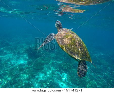 Sea turtle in seawater. Green sea turtle taking a breath. Sea turtle closeup. Green tortoise swims in sea. Snorkeling with turtle in lagoon. Nature image for banner template or poster with text place