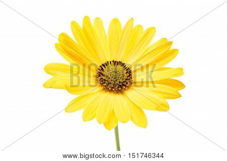 yellow osteospermum daisy flower isolated on white background