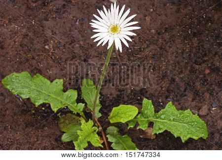 Young Barberton Daisy With White Flower On Long Stem