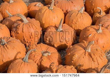 Knucklehead Pumpkins in a Pumpkin Patch in Northern California