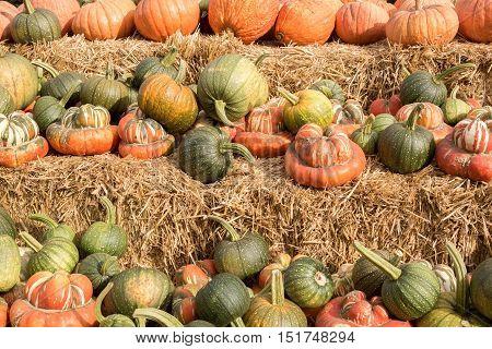 Mixture of Pumpkin and Squash in a Pumpkin Patch in Northern California
