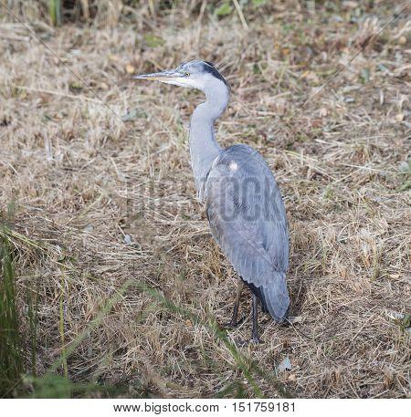 Beautiful Grey Heron Ardea Cinerea On Riverbank