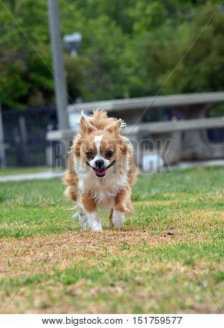 a chihuahua dog runs in a park