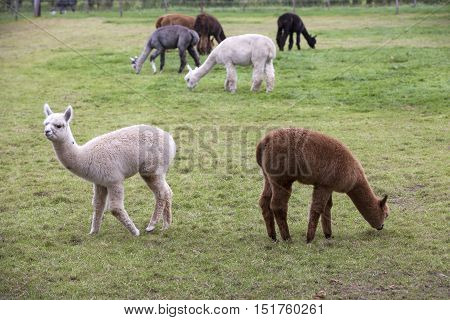 brown black grey and white young alpaca graze in green dutch meadow