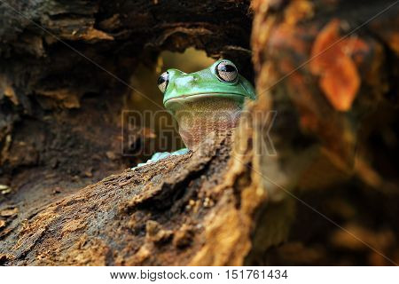 Dumpy frog, dumpy frog out of foxholes