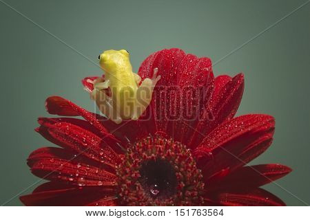 Tree frog Philautus vittiger above the red flowers
