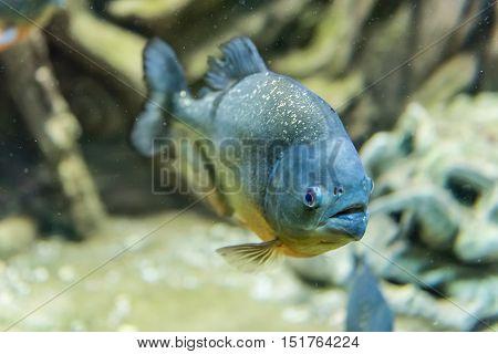 Closeup Of A Tropical Piranha Fish Underwater In Aquarium Environment