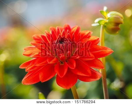 Closeup Of Dahlia Flower With Bud At Closeup