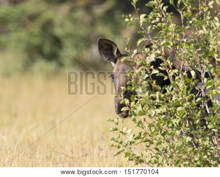 Young moose playing peek-a-boo behind shrub in grass